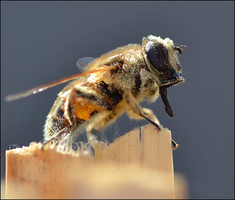 Bee by FrankAndCarySTOCK
