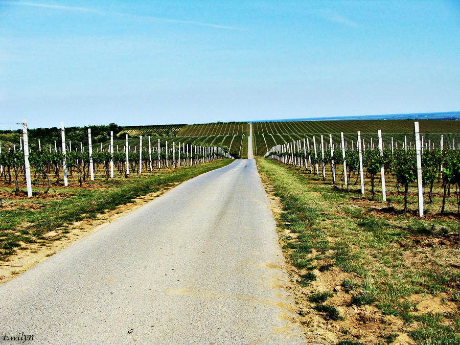 Vineyards by Ewilyn