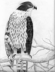 Chestnut Hawk-Eagle