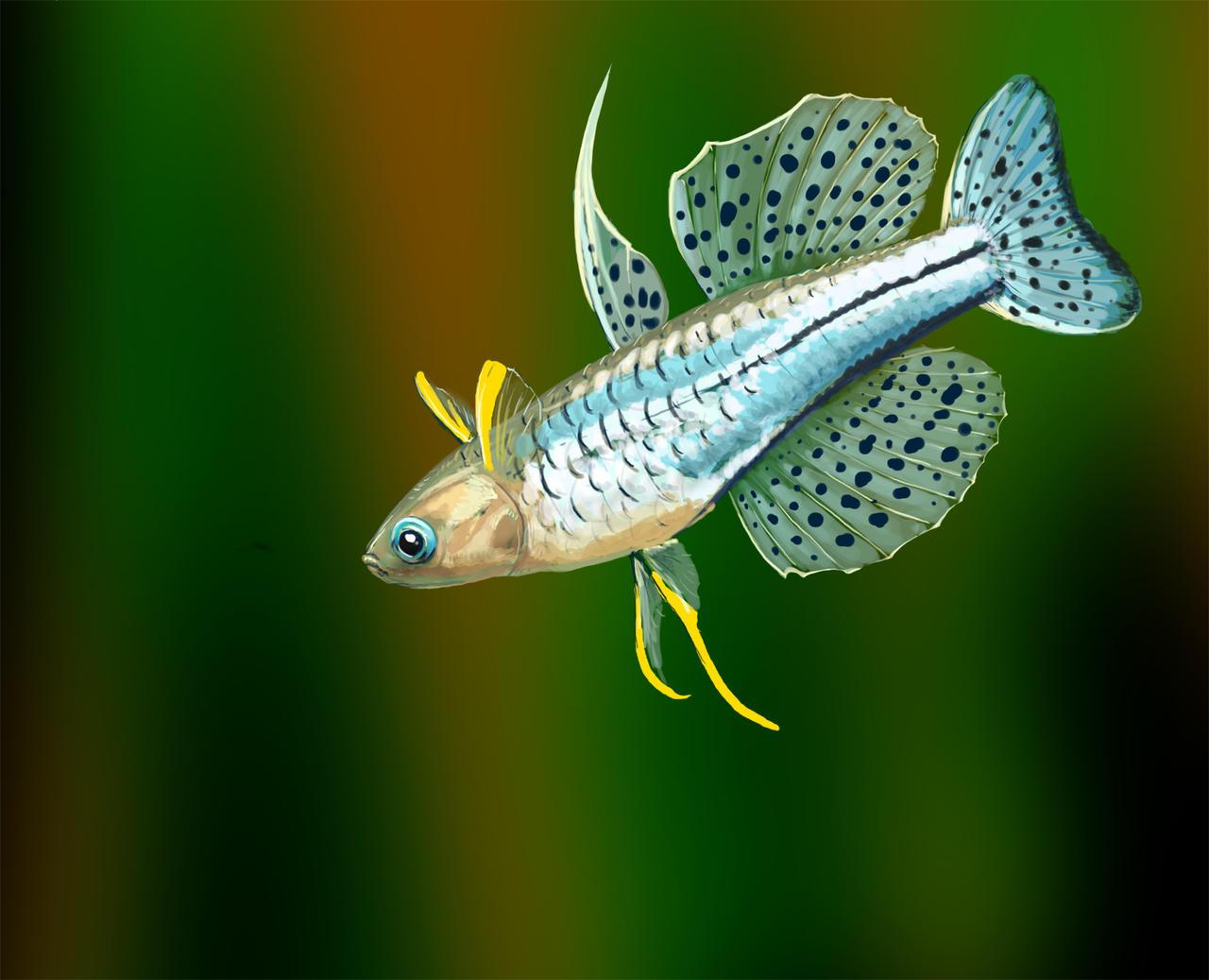 how to breed australian rainbow fish