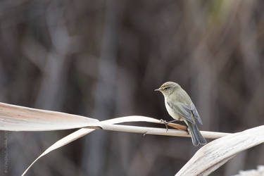 Common chiffchaff, Phylloscopus collybita by TopGon