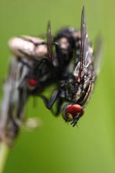 Flies Closeup by cro4ky