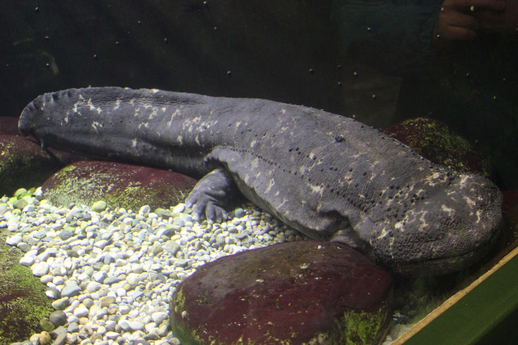 Giant Japanese Salamander Art Japanese giant salamander 2 by