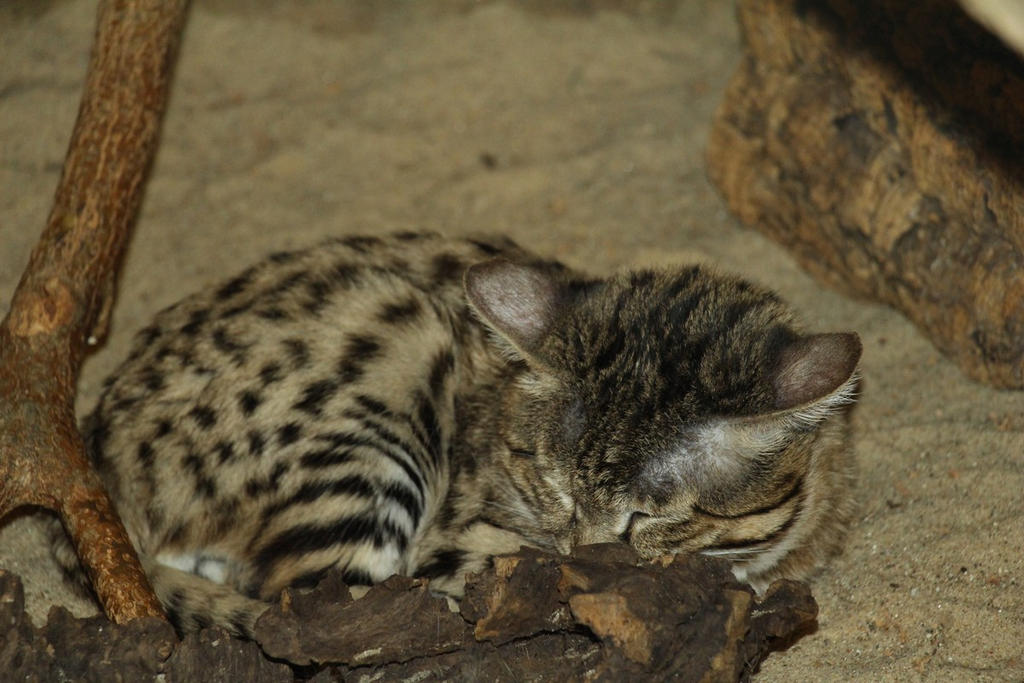 Black Footed Cat Behavior