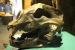 Short-faced Bear skull