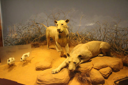 The Ghost and the Darkness: The Tsavo Lions