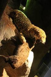 American Jaguar reconstruction 3