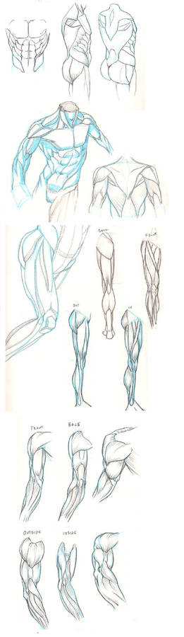Anatomy Studies Torso Leg Arm
