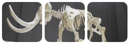 mammoth skeleton divider by bulletblend