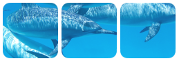 dolphins divider by bulletblend
