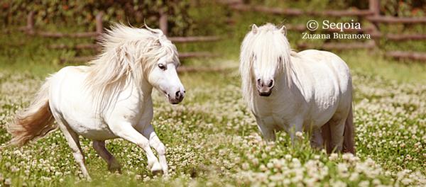 White Shetland Pony Blending by Seqoia on deviantART