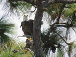 Eagle in Tree by Sorath-Rising