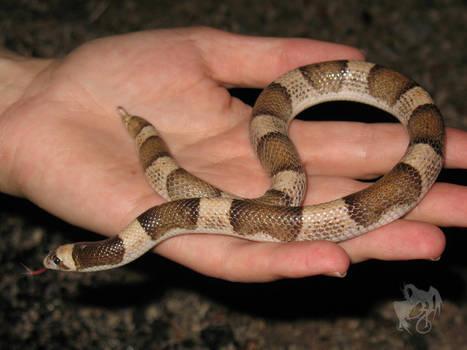 Herping - Saddled Leaf-Nosed Snake