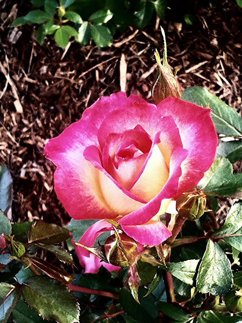 Sunrise Rose by Svennah