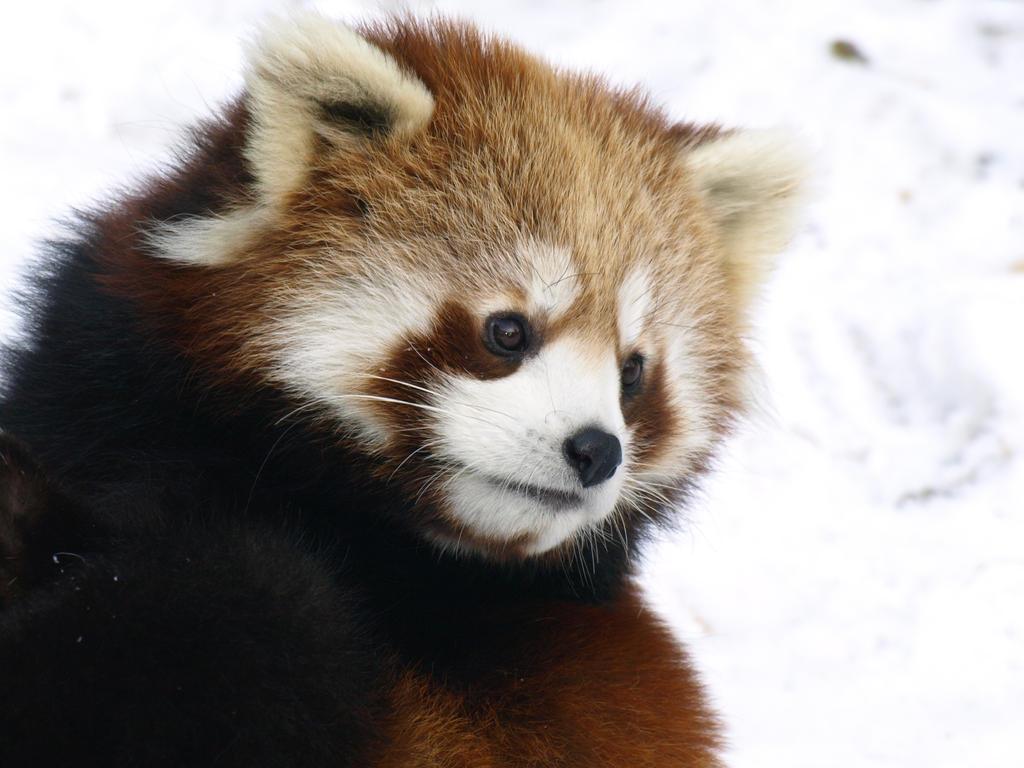 Red Panda Time4 by KodaSilverwing