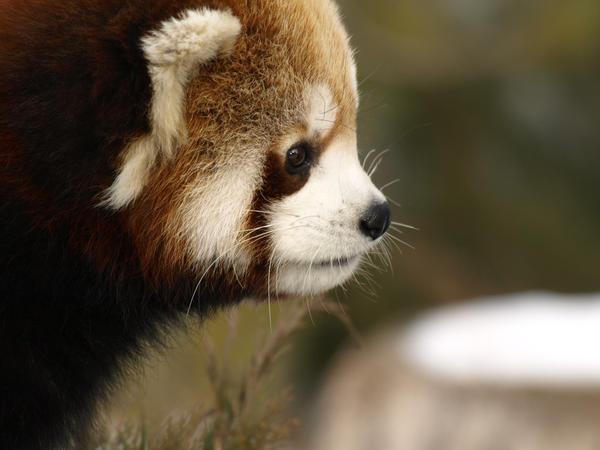 Red Panda Time 5 by KodaSilverwing