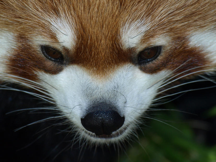 Red Panda Exploration 3 by KodaSilverwing