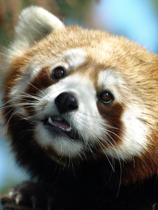 Red Panda Explorations by KodaSilverwing