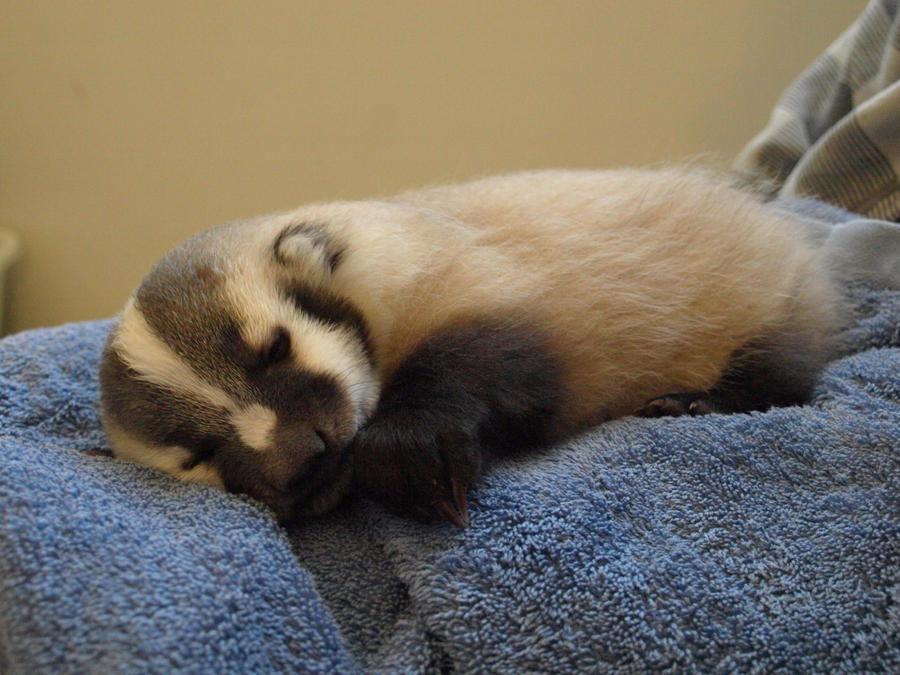Baby_Badger_by_KodaSilverwing.jpg