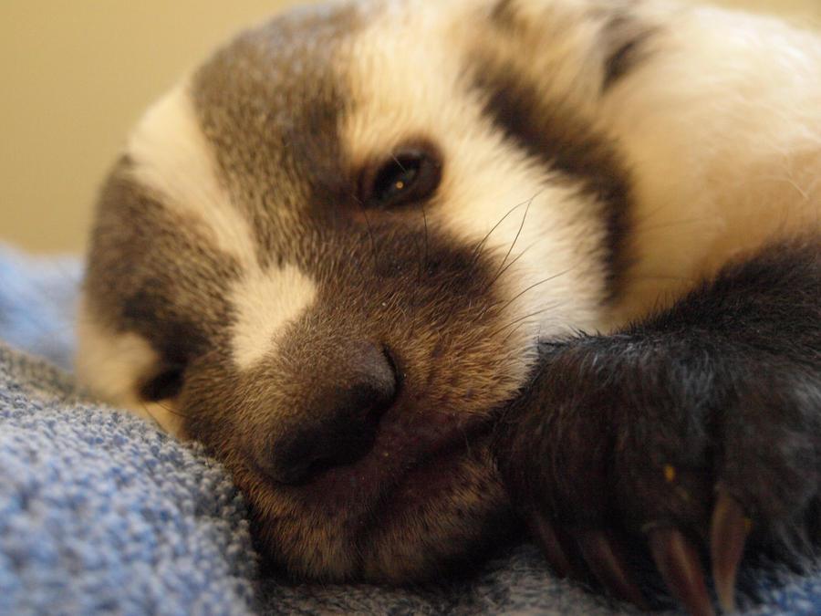 Baby Badger 4 by KodaSilverwing - 100.2KB