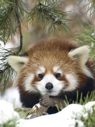 Red Panda New Life 3 by KodaSilverwing