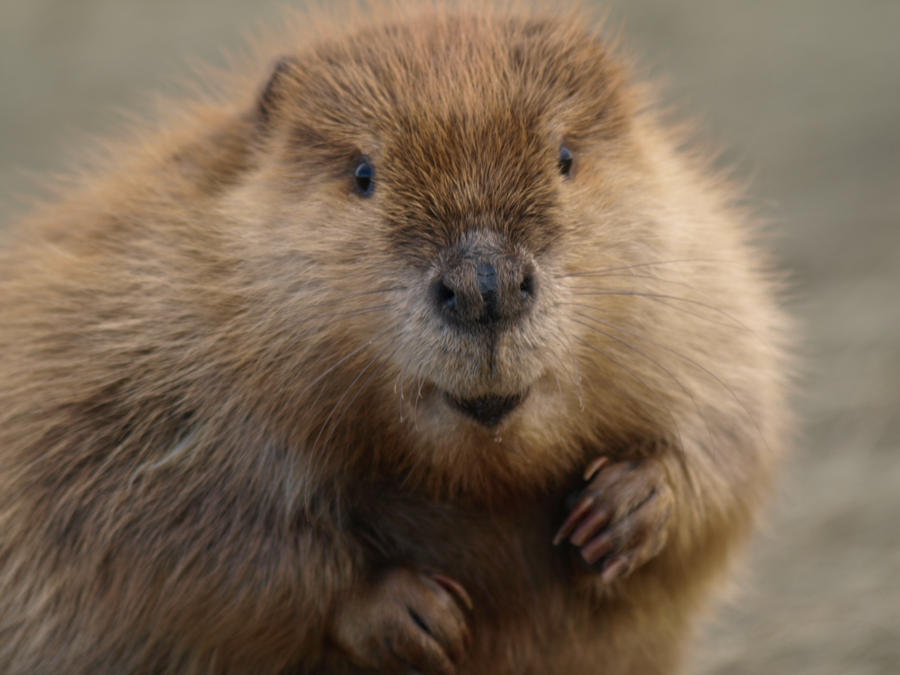 Natural Flavors Come From A Beaver's Butt