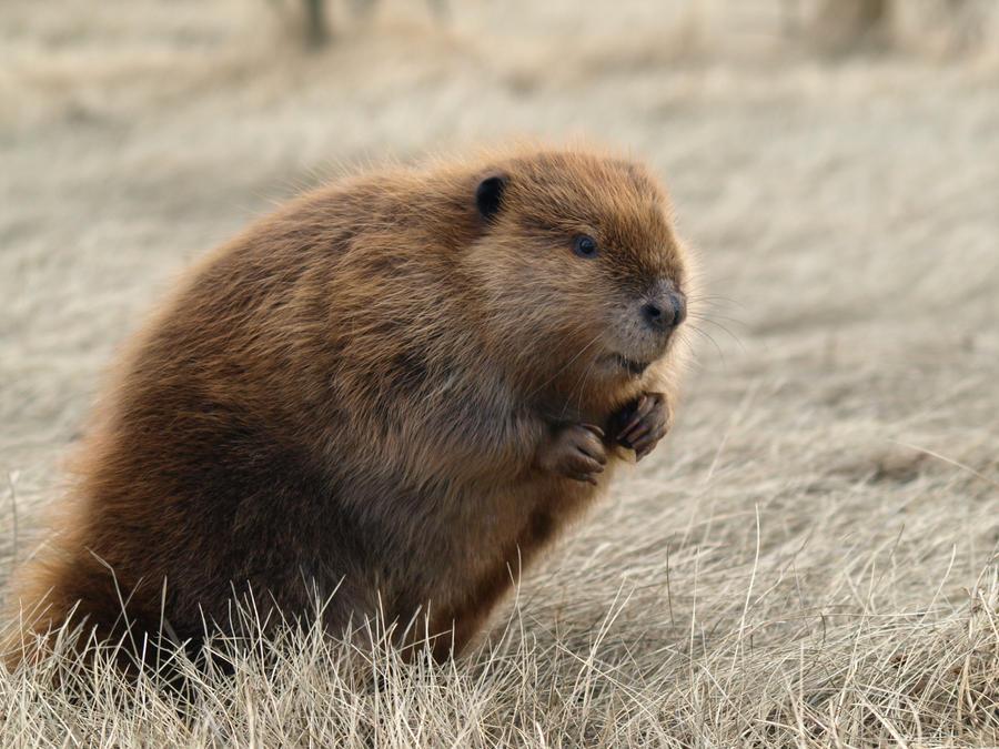 Little Beaver Field Fun 5 by KodaSilverwing