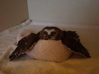 Wheatley the Saw Whet Owl 2 by KodaSilverwing