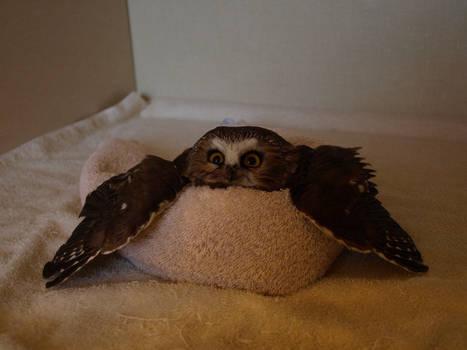 Wheatley the Saw Whet Owl 2