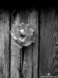 Rose in fence