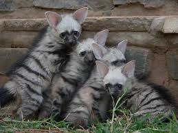 Aardwolf pups by Nayikee