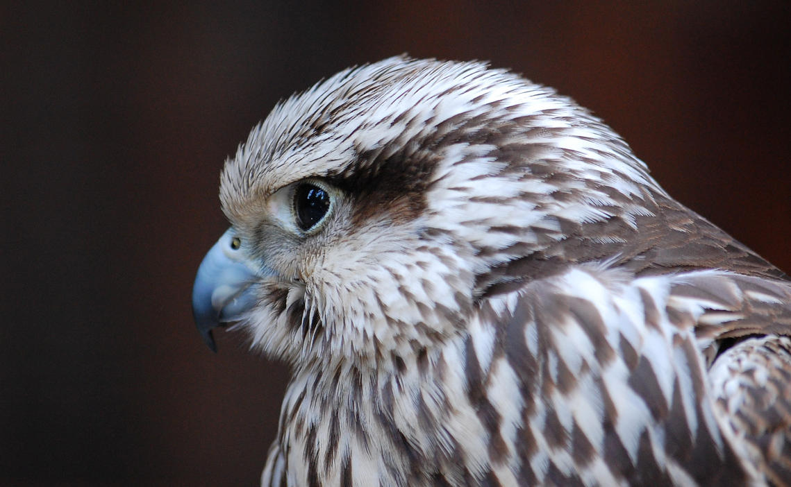 Falcon by soys