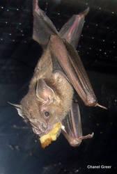The Fruit Bat by ChanelGreer