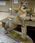 Grey Fox 8
