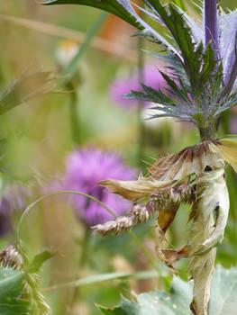 Cornflower 3