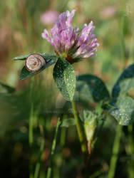 Clover with snail (Trifolium L.)