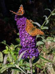 Flower with butterfly (Buddleja davidii)