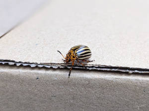 Beetle (Leptinotarsa decemlineata)