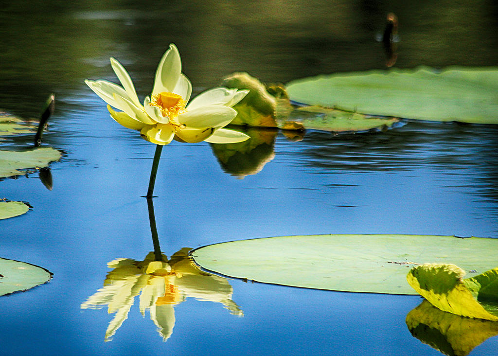 Lily Pad In Bloom by donnasueb