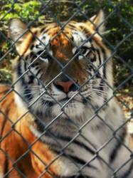 el tigre by violetense