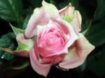 Kordana Rose 1 by MorbidKittyCorpse