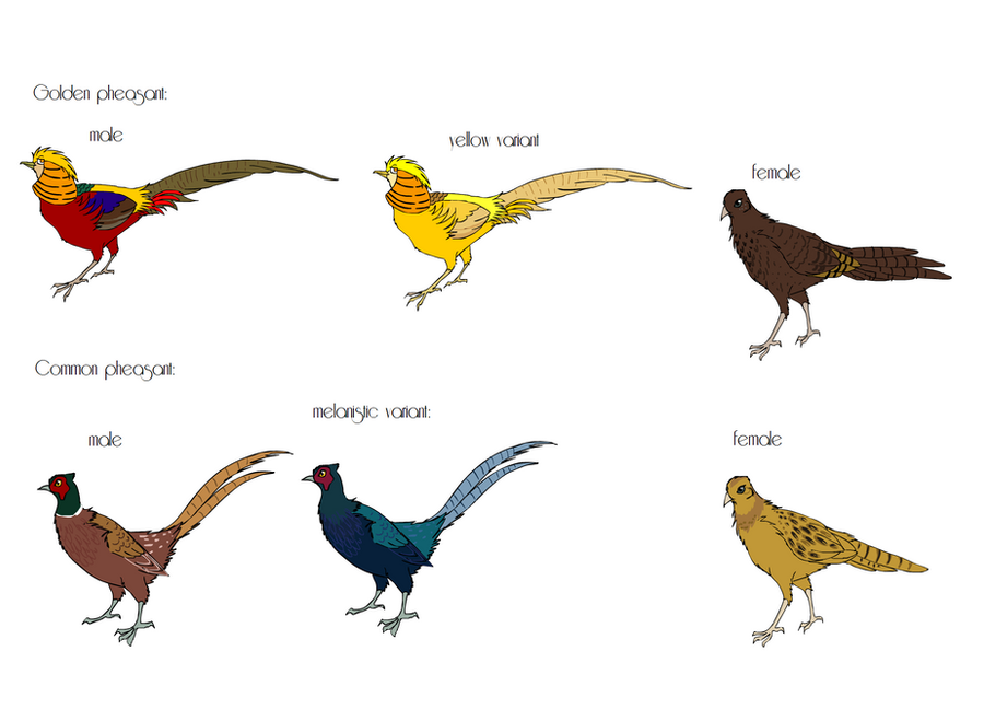 pheasant breeds part 1 by mechanicalmasochist