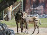 Mama and Baby Zebra 2