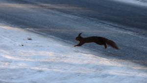 Squirrel crossing the frozen Street