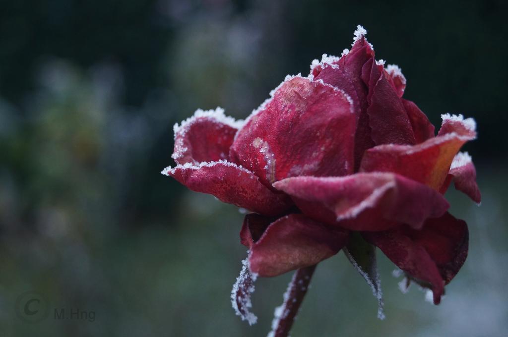 Roja Rosa by Cappuccino8