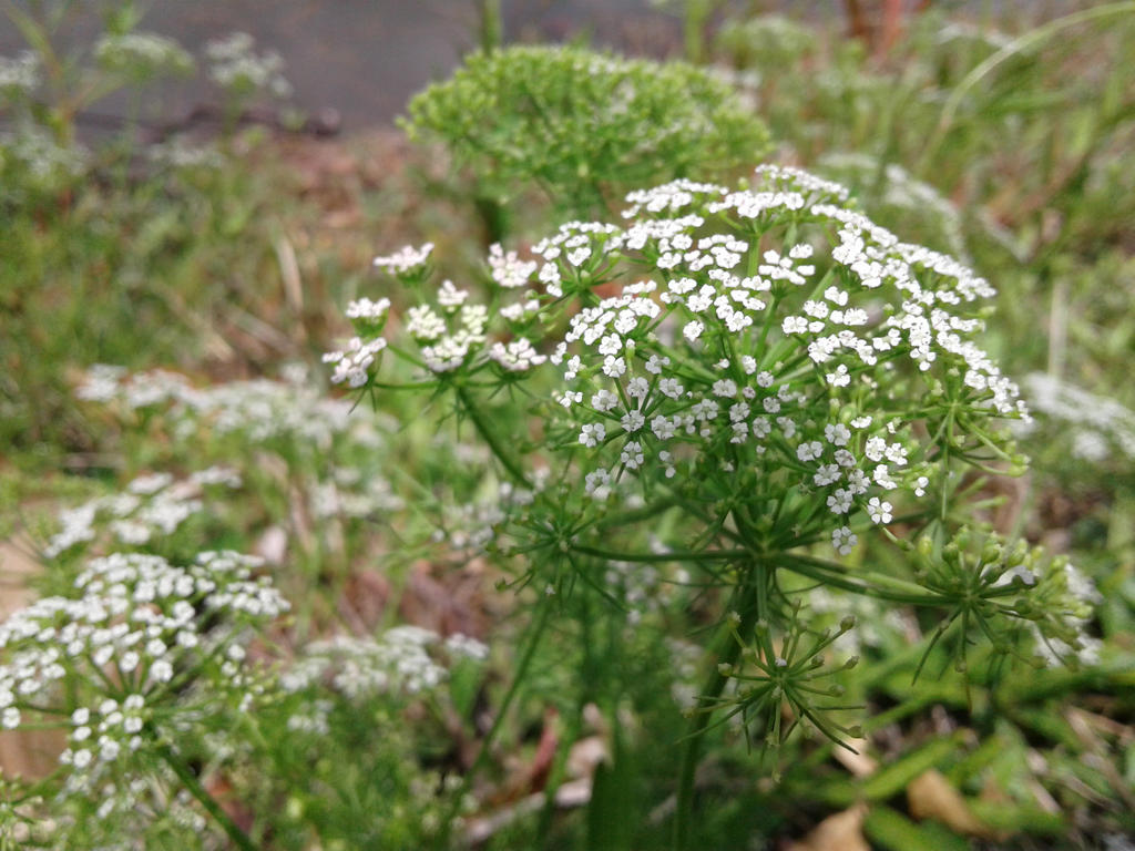 White Dill Flower By Fructozeproductions On Deviantart