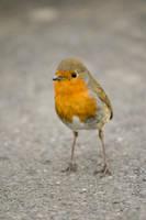 Robin the Third
