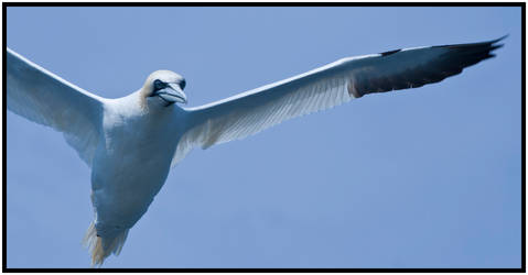 Gannet II by mojographics