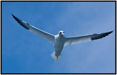 Gannet III by mojographics