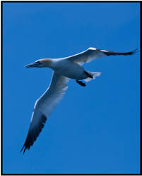 Gannet IV by mojographics